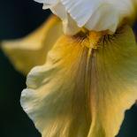 Bearded Irises in the backyard