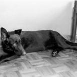 Our great German Shepherd, Hera