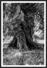 Olive Tree #17 (2007)