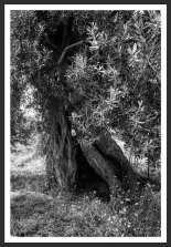 Olive Tree With Flowers #18 (2007)