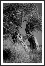 Olive Trees on the Aegean Shore #5 (2007)
