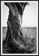 Olive Tree on the Aegean Shore #2 (2007)
