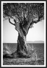 Olive Tree on the Aegean Shore #1 (2007)