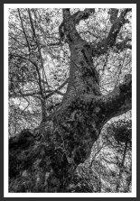 Plane Tree #3, Mt. Ida (2012)
