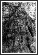 Plane Tree #2, Mt. Ida (2012)