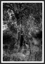 Olive Tree With Dried Grass #13 (2012)
