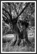 Olive Trees in the Grove #14 (2012)