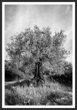 Olive Tree Under the Sun #12 (2012)