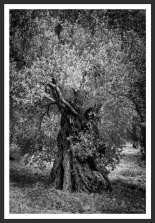 Olive Tree Under the Sun #15 (2012)