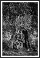 Olive Tree Harboring a Small Fig Tree #16 (2012)