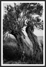 Olive Trees on the Aegean Shore #6 (2012)