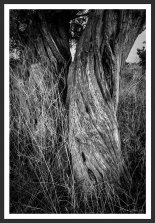 Olive Trees With Dried Grass #8 (2012)