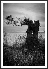 Olive Tree on the Aegean Shore #4 (2012)
