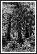 Pine Trees #1, Mt. Ida (2012)