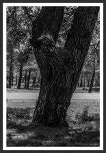 Pine Trees #2, Mt. Ida (2012)
