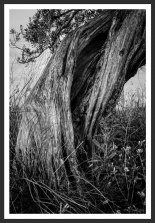 Olive Tree With Dried Grass #9 (2012)