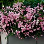 Hanging trailing rose