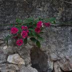 Stretching rose vine