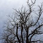 Tree in front of Old Manse Inn (Jan Ekin)