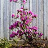 PJM in bloom