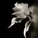 Dance of the Orchids # 13