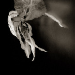 Dance of the Orchids # 18