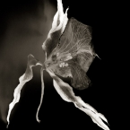 Dance of the Orchids # 10