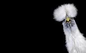 White Silkie Hen