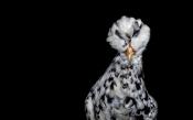 A Polish Hen