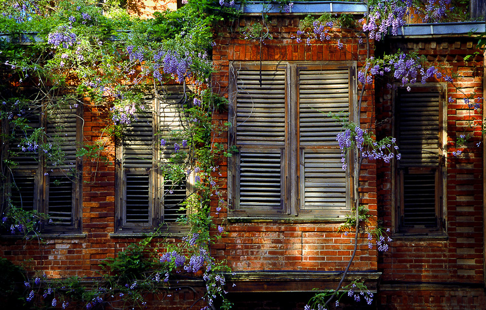 Wisteria on Old House, Istanbul