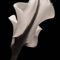 Shrouded Calla Lily