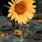 Sunflower at the Buttonwood Farms, can you find the fly?