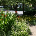 Front yard and the crocosmias