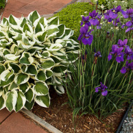 Siberian Irises and The Hosta