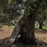 One of the olive trees