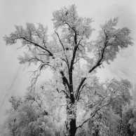 Ansel Adams -- Oak Tree, Snowstorm, Yosemite