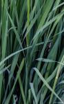 Siberian iris leaves and stems