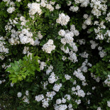 White wild rose