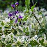 Solanum dulcamara over Euonymus