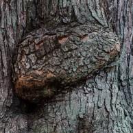 Tree biting itself?
