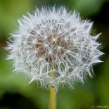 A focus-stacked dandelion