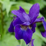 Siberian Iris #1