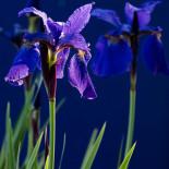 Siberian Iris #3