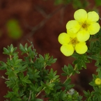 Potentilla, Backyard