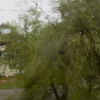 The maple tree in front of our house bending under the wind