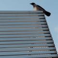 Crow on the railing