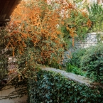 Pyracantha and vines on lower walls