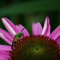 Cone flower and the metallic green bee (Agapostemon)