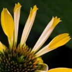 Radiant petals