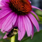 Cone flower and fuzzy bee